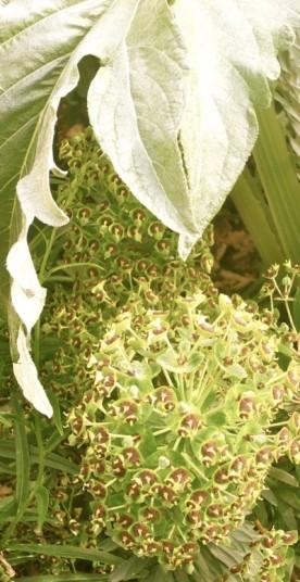 Cardoon leaf