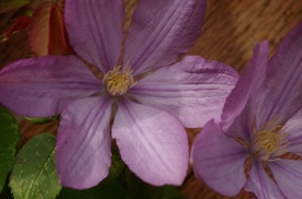 Clematis Proteus second flowering with single blooms.