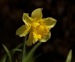 Single-daffodil