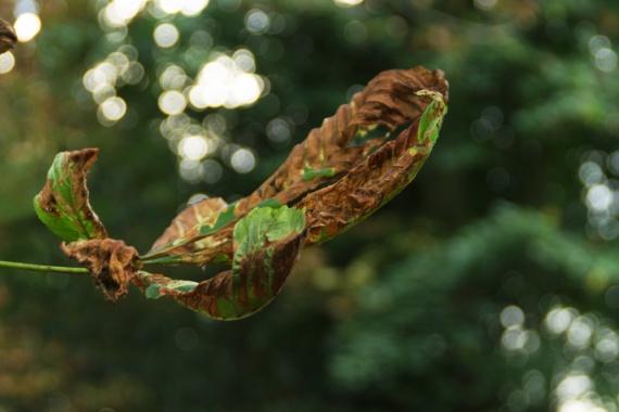Crinkled-leaf